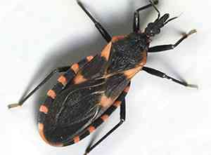 Kissing bugs harbor Chagas disease