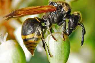 Are those bees in your trees? Nope, they're Mexican honey wasps