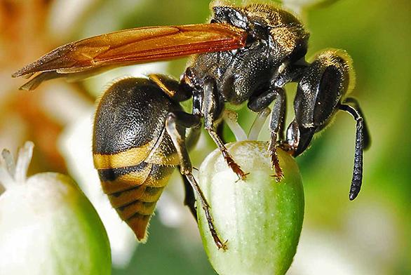 HoneyWasp copy