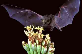 To save the margarita, scientists must rescue the Mexican long-nosed bat