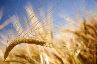 Higher wheat yields in times of drought linked to increased biomass