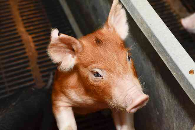 Diagnostic lab develops test for virus killing millions of pigs in 20 states