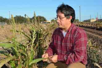 Mysterious pest threatens Texas' billion-dollar grain sorghum crop
