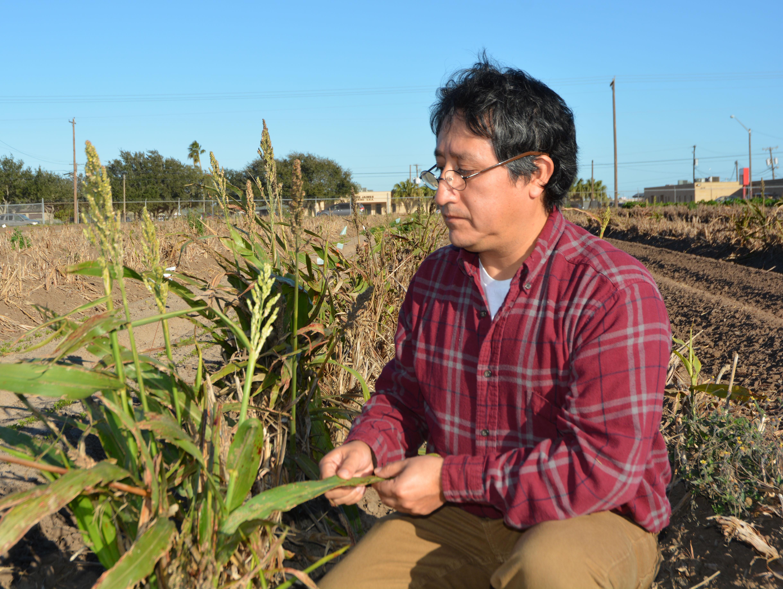 Man kneels in field of grain sorghum