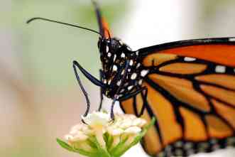 Monarch butterflies need your help to avoid starvation during migrations