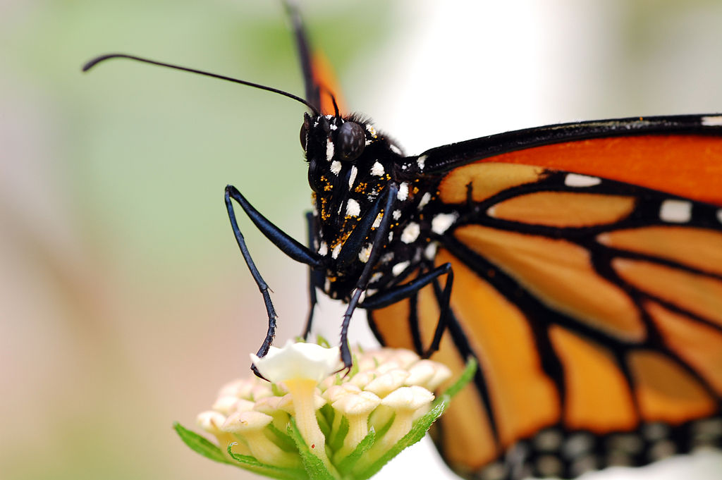 Monarch butterfly feeds on flower