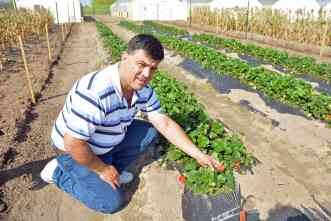 Can strawberries develop into mainstream crop for Texas growers?