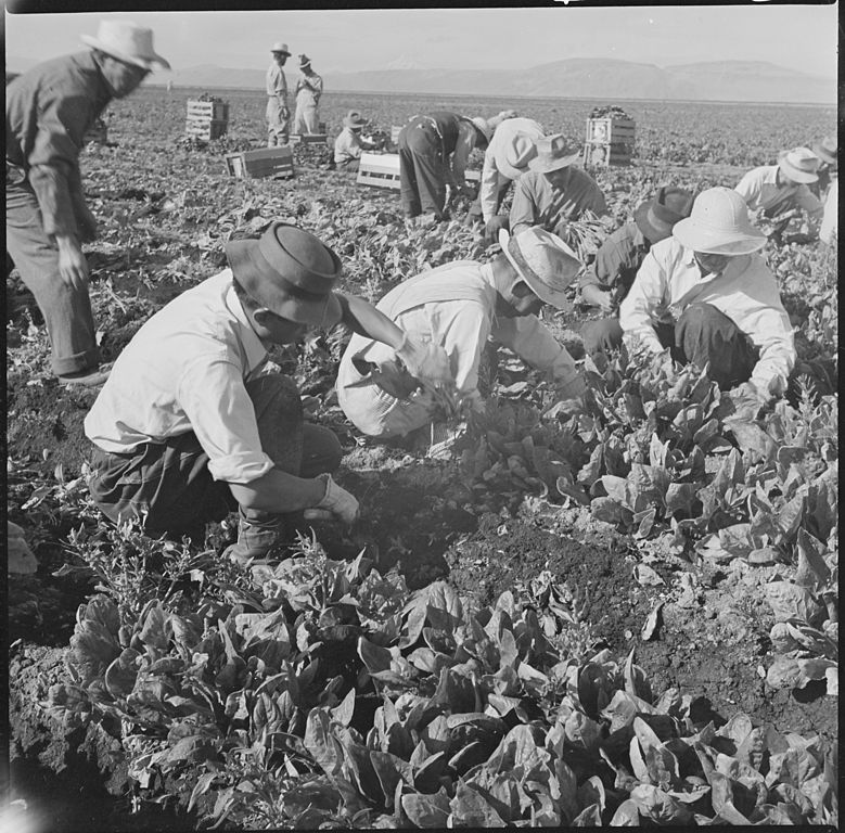 779px-Tule_Lake_Relocation_Center,_Newell,_California._Harvesting_spinach._-_NARA_-_538316