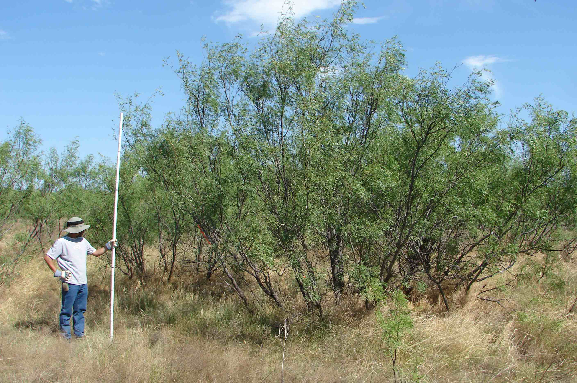 Man in white tshirt and hat holds large pole next to mesquite tree.