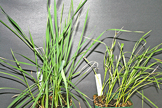 What allows a popular variety of wheat to resist a destructive pest?