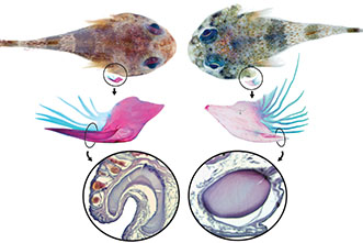 One clingfish, two clingfish: A new species, plus a second with venom