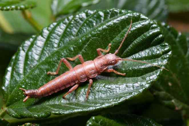 What happens when stick insects must adapt to a new host plant?