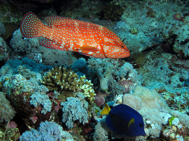 Coral hind and yellowtail tang at Elphinstone Reef, Red Sea, Egypt #SCUBA