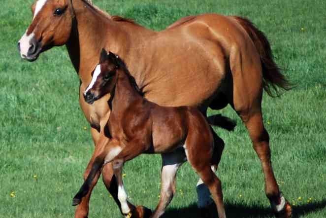 Dietary additives could help protect young quarter horses from arthritis