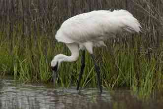 Saving the cranes: Interdisciplinary team studies vector-borne parasites