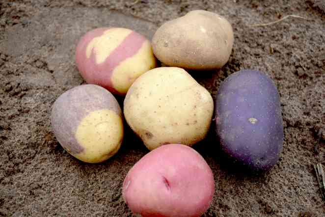 Designer spuds: Breeding potatoes for a new generation of consumers