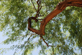Mesquite trees may offer abundant source of clean biofuel, study says