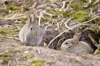 Why can rabbits be domesticated? New genetic study may explain