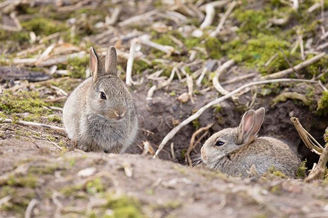 two rabbits near their burrow