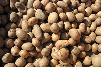 Introducing the Reveille Russet: a wake-up call for the potato industry?