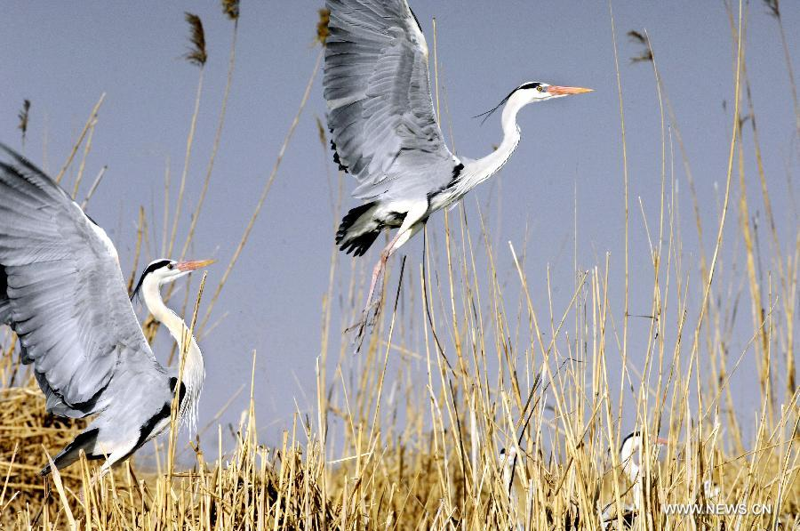 large birds fly out of grassland area