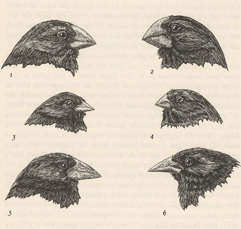 drawing of six birds, comparing sizes of their beaks