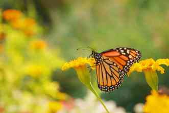 Monarchs are on comeback trail, but need more milkweed along the way