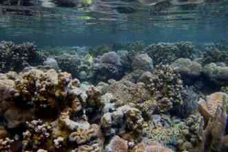 Why do these coral reefs thrive in acidic waters that should harm them?