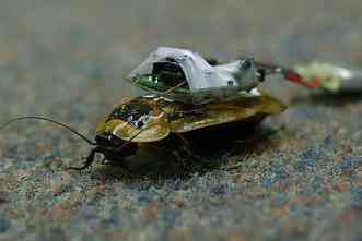 BBC News: A&M engineers creating 'cyborg' bugs to enter disaster areas
