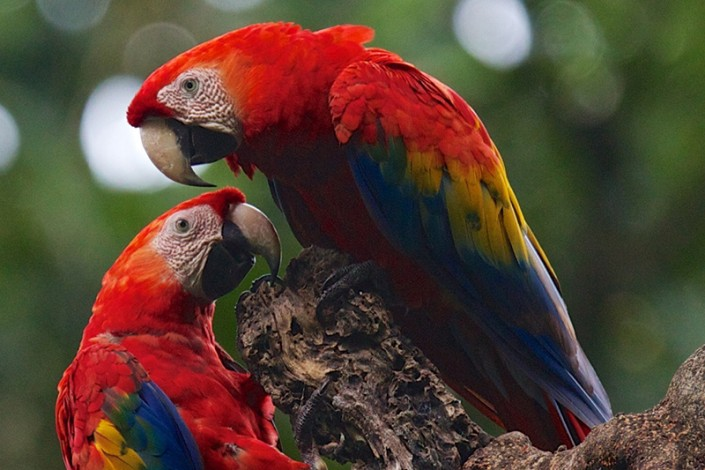 two parrots on a  tree branch