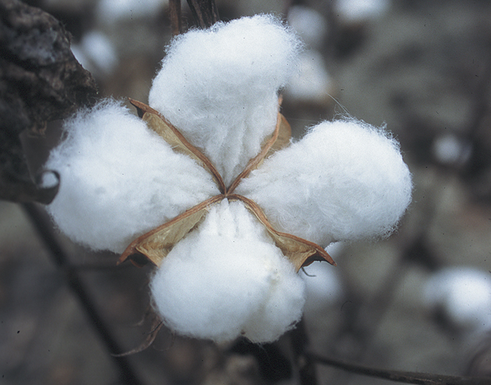 cotton fibers prepared for harvesting