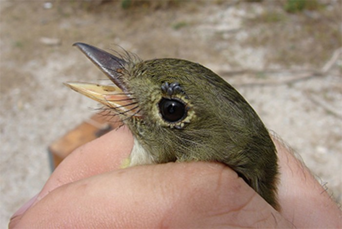 a hand holds a bird, which has a tick near its right eye
