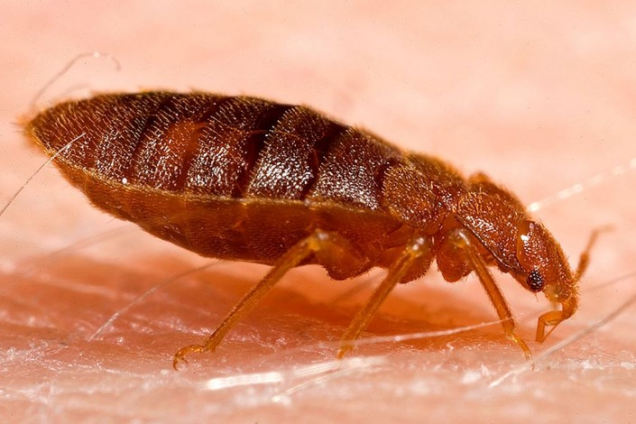 side view of an adult bedbug on human skin