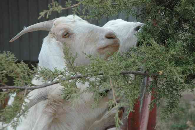 How can ranchers control spread of juniper plants? Use super goats
