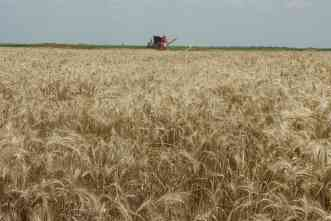 After four years of drought, AgriLife produces high yields of wheat