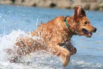 Drug treatment slows heart disease in dogs, international study finds