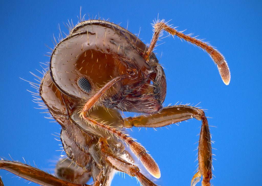 close up image of a worker fire ant