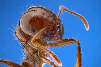 Fire ants: Invaders may hamper vector-borne disease, study says