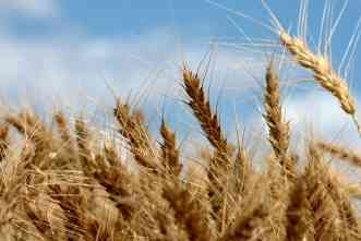 Genetic approach could develop wheat that stands up to diseases