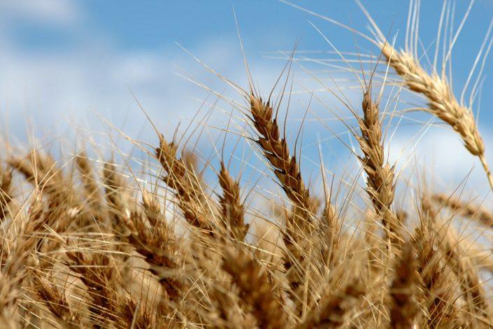 wheat plants against a sky