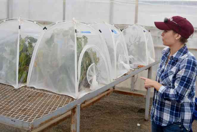 Insecticides are becoming ineffective in quelling potato pests, study says