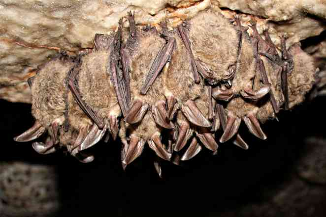 Fungus that kills hibernating bats is detected in Texas for first time