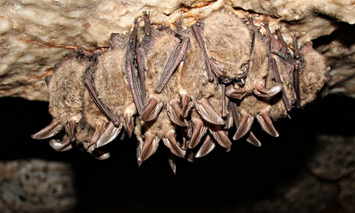 bats cling upside down in a cave