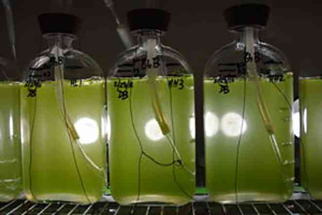 AgriLife scientists sequence genome of microalga that can produce fuels