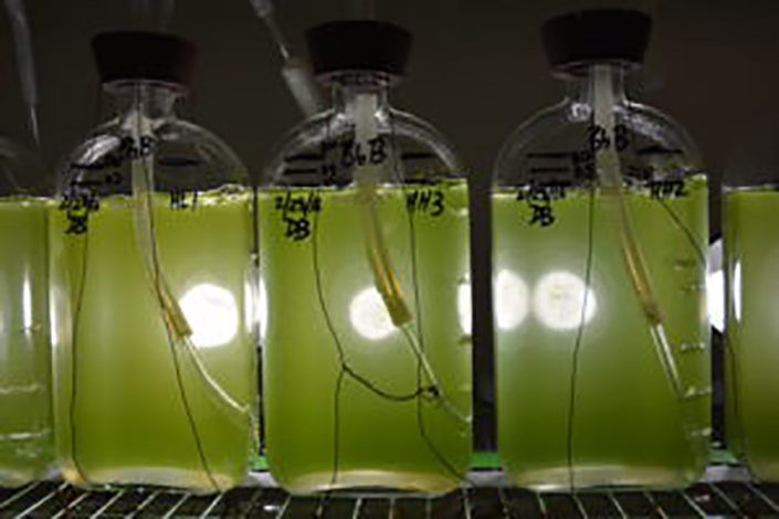 Three jars containing a green liquid