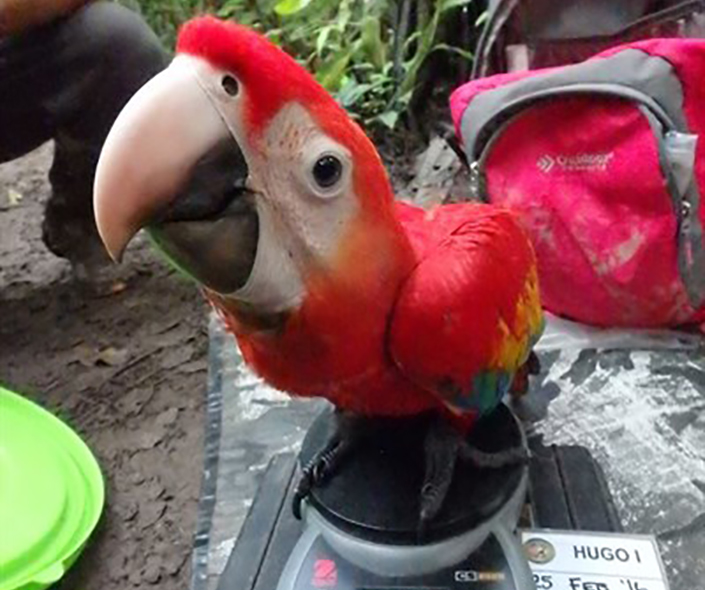 Researchers weigh a macaw
