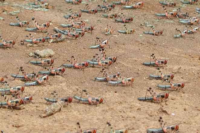 How does a plague of locusts begin? Researchers are looking for triggers