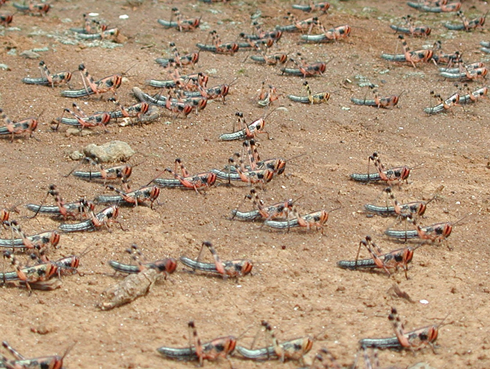 Locusts swarm on a dry field