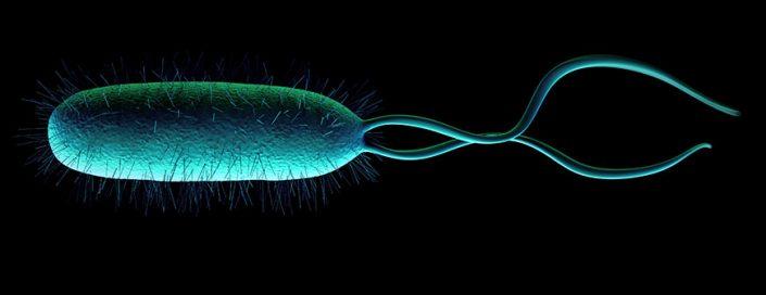 Helicobacter pylori bacterium