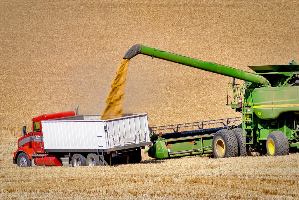 Harvesting machine drops wheat into large truck